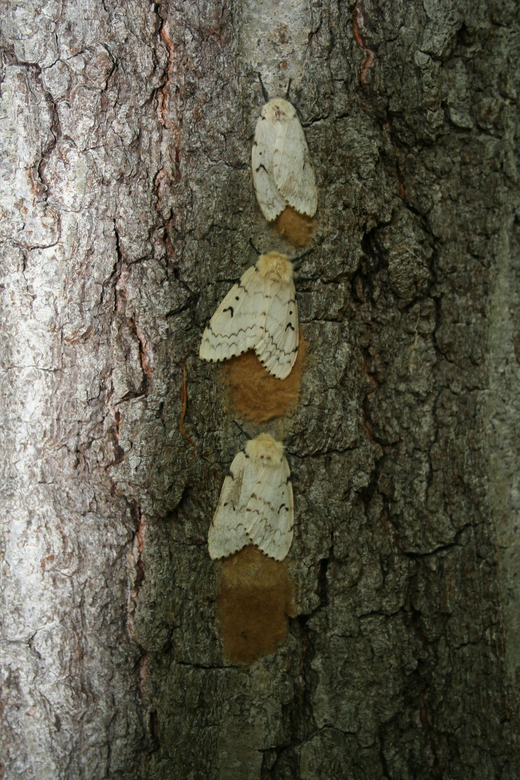 gypsy_moth_egg_masses[1]